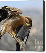 Tawny Eagle Canvas Print by Alan Clifford