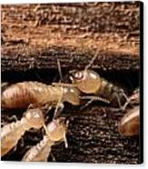 Termites Canvas Print by George Grall