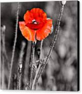 Texas Hot Poppy With Black And White Canvas Print