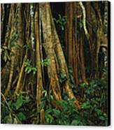 The Buttressed Roots On A Strangler Fig Canvas Print by Steve Winter