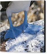 The Feet Of A Blue Footed Booby Bird Canvas Print by Gina Martin
