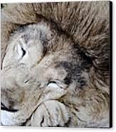 The Lion Sleeps Canvas Print