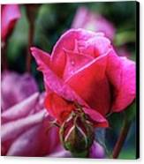 The Rose Canvas Print by Matthew Green