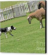 The Stare - Border Collie At Work Canvas Print by Christine Till