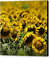 The Sunflower Patch II Canvas Print by Lisa Moore