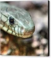 The Western Green Mamba Canvas Print by JC Findley