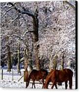 Thoroughbred Horses, Mares In Snow Canvas Print by The Irish Image Collection