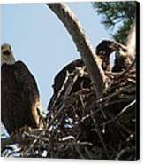 Three Bald Eagles In The Nest Canvas Print by Mitch Spillane