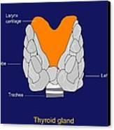 Thyroid Gland, Artwork Canvas Print by Francis Leroy, Biocosmos