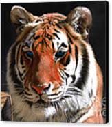 Tiger Blue Eyes Canvas Print