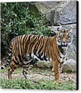 Tigers Glare Canvas Print