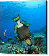 Titan Triggerfish Picking At Coral Canvas Print
