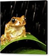 Tree Frog In Rain Canvas Print by MarkBridger