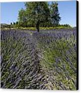 Tree In A Field Of Lavender. Provence Canvas Print