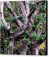 Triplet Trees Canvas Print by Beverly Hammond