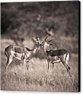Two Antelopes Together In A Field Canvas Print