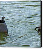 Two Ducks Diving Canvas Print by Matthias Hauser