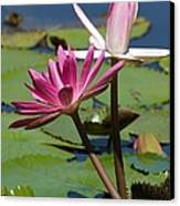 Two Graceful Water Lilies Canvas Print by Sabrina L Ryan