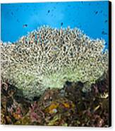 Underside Of A Table Coral, Papua New Canvas Print by Steve Jones