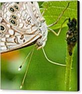 Upclose Moth_1 Canvas Print by Lisa  Spencer