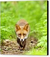 Walking Fox Canvas Print