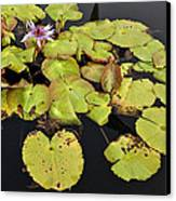Water Lillies And Pads Canvas Print