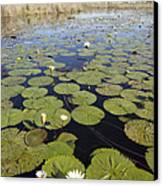 Water Lily Nymphaea Sp Flowering Canvas Print by Matthias Breiter