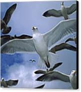 Western Gull Larus Occidentalis Flock Canvas Print by Michael Durham/ Minden Pictures