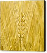 Wheat Canvas Print by Paul Rapson