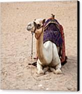 White Camel Canvas Print by Jane Rix