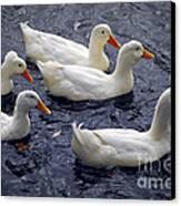 White Ducks Canvas Print by Elena Elisseeva
