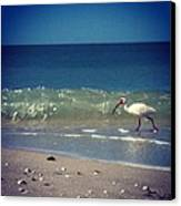 White Ibis  Canvas Print by Katie Cupcakes