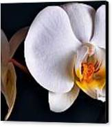 White Orchid Canvas Print by Dorothy Walker
