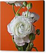 White Ranunculus Close Up In Red Vase Canvas Print by Garry Gay