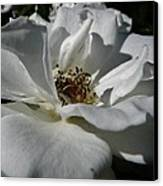 White Rose  Canvas Print by Daniele Smith
