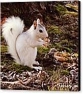 White Squirrel With Peanut Canvas Print