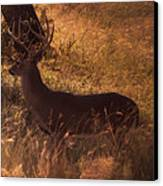 White Tail Buck Canvas Print by Kelly Rader