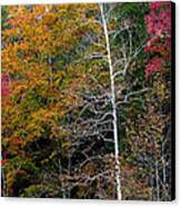 White Tree Fall Colors  Canvas Print