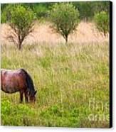 Wild Horse Grazing Canvas Print