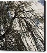 Willow Tree Canvas Print by Todd Sherlock