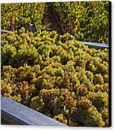Wine Harvest Canvas Print by Garry Gay
