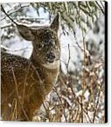 Winter Dining For A Black-tailed Deer Canvas Print by Tim Grams