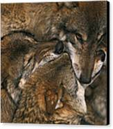 Wolf Pack Biting Each Others Muzzles Canvas Print