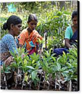 Women Grafting Mango Plants Canvas Print by Johnson Moya