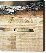 Wood-boring Insect Larva Canvas Print by Jeremy Walker