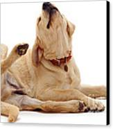 Yellow Labrador Scratching Canvas Print