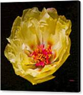 Yellow Portulaca Canvas Print by Mitch Shindelbower