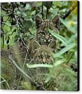 Young Bobcats Canvas Print by Michael S. Quinton