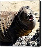 Young Elephant Seal Molting . 7d16100 Canvas Print