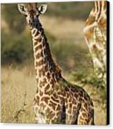 Young Giraffe In The Mara Canvas Print by Alan Clifford